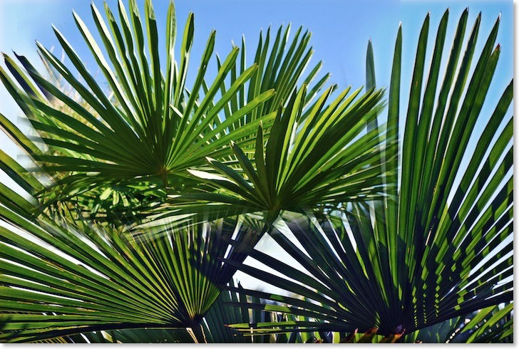 Irland Gartenreisen Palmen BambooPark