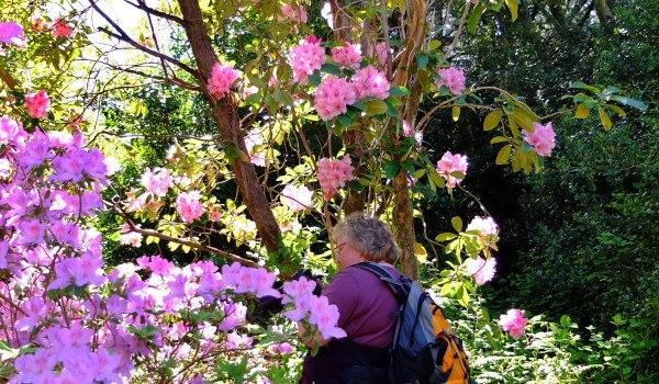 Irland Gartenreisen Rhododendron