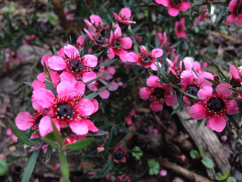 Irland Kräuterwandern Manuka pink