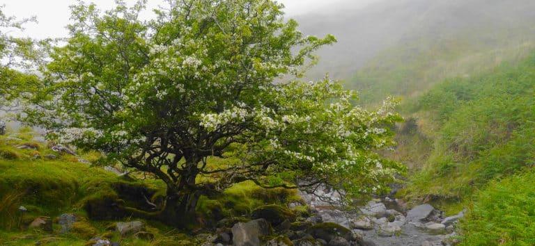 Wanderlust Irland Natur Retreat Weißdorn